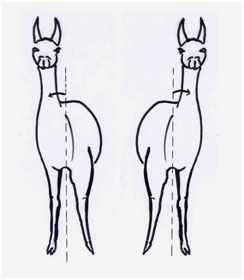 A broad chested llama with a base-wide stance