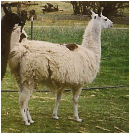 Llama with steep shoulders